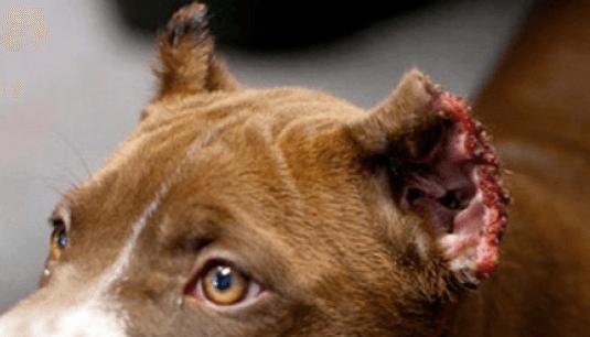 6 meses de cárcel por cortar los rabos y las orejas a diez de sus perros sin sedarlos